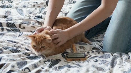 Woman Combs a Cute Ginger Cat Fur. Fluffy Pet Frowning of Pleasure