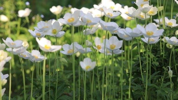 Snowdrop Anemone - Anemone Sylvestris - in Spring Season