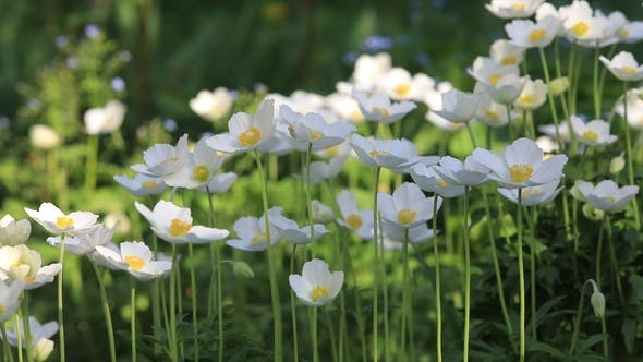 Snowdrop Anemone - Anemone Sylvestris- in Spring Season