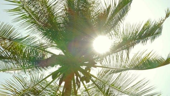 Thumbnail for Sun Shining Through Coconut Palm Leaves,