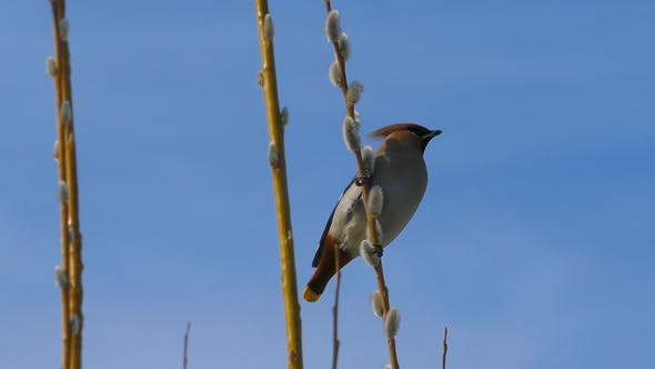 Thumbnail for Waxwing Sitting on Pussy Willow Branch and Eating