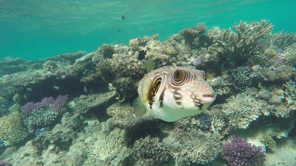 Thumbnail for Black Spotted or Dog Faced Puffer Fish in Red Sea