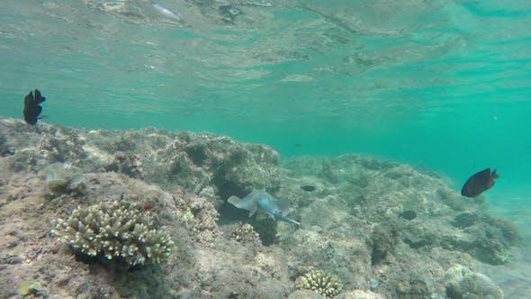 Thumbnail for Blue Spotted Stingray (Taeniura Lymma)
