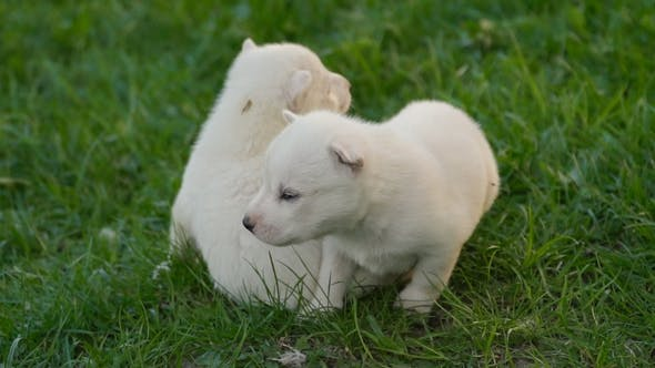 White Husky Puppies