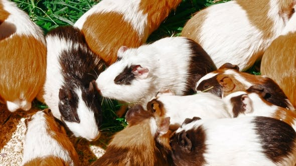 Thumbnail for Guinea Pigs Eating Food