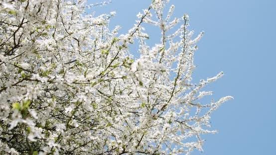 White Flowers Cherry Flowering Tree Flowering Blue Background