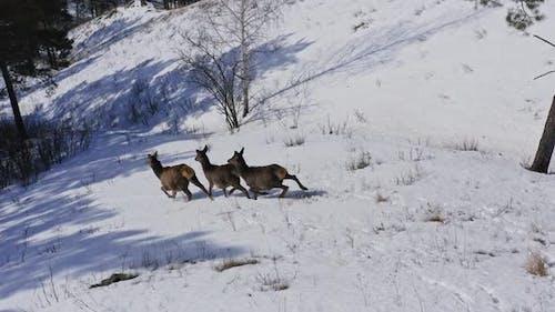 Drone Shot of Three Wild Deer Running Away Down the Mountainside