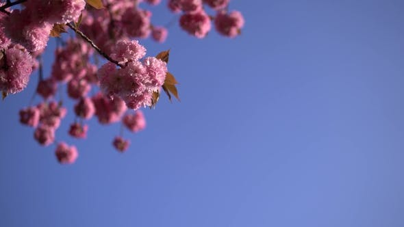 Thumbnail for Pale Cherry Blossom Flowers Blooming in Springtime. Clear Blue Sky on the Background.