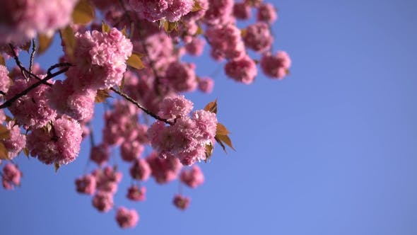 Thumbnail for Pale Pink Cherry Blossom Flowers Blooming on the Blue Sky Background