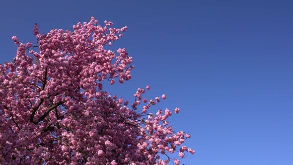 Thumbnail for Sakura Tree in the Daylight on the Blue Sky and No Clouds in the Background