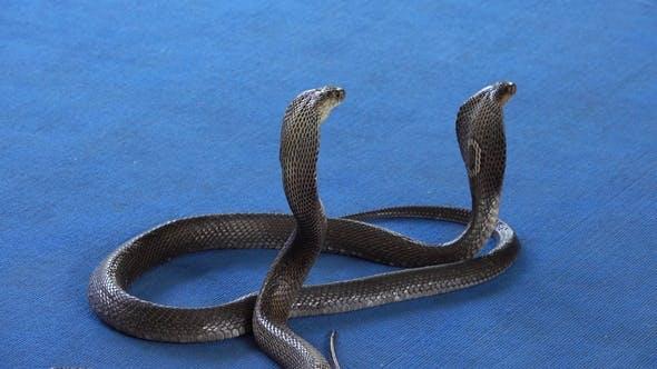 Thumbnail for Two Cobra on Carpet - Snake Show