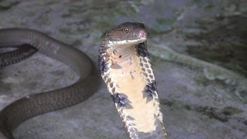 Cobra Snake  Portrait