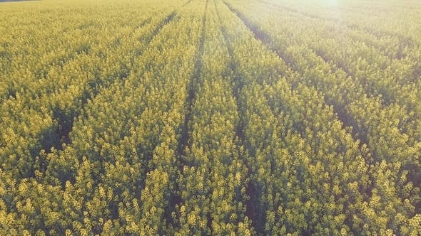Thumbnail for Aerial View of Agricultural Field with Blooming Yellow Rape
