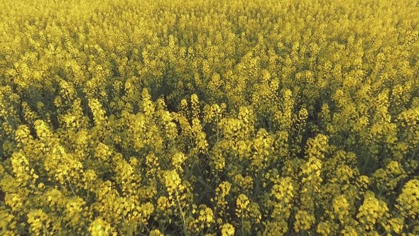 Thumbnail for Agricultural Field with Blooming Yellow Rape. Aerial View