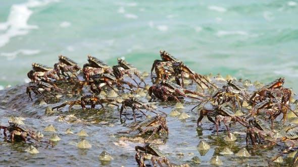 Thumbnail for Crabs Sit on Coastal Stones, Between Sea Waves