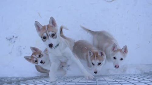 Alaskan Husky Puppies Inside Their Snowy Cage In Lapland, Finland Looking Up At The Camera On A Wint