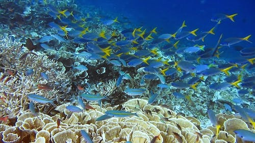 Group of Yellow Tail Fusilier, Caesio Cuning, Swimming Slowly Above the Beautiful Cabbage Leather