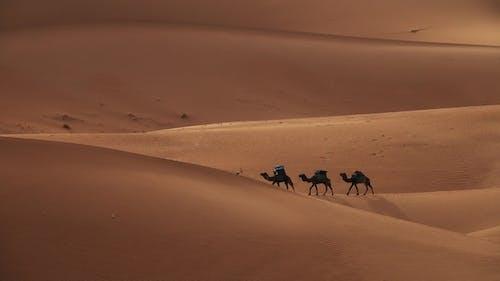 Camel Caravan Going in Sand Dunes in Sahara Desert