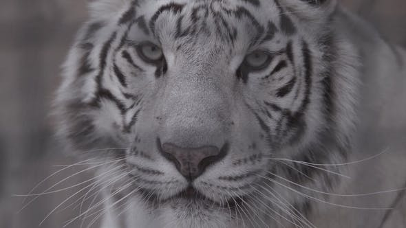 Thumbnail for Muzzle of White Tiger Looking at You