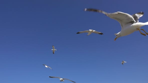 Thumbnail for Many Seagulls Fly Against the Blue Sky