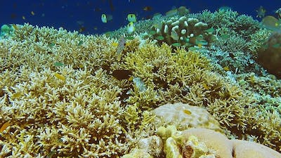 Intact Colorful Coral Reef with Lot of Tropical Fish in Raja Ampat, Indonesia