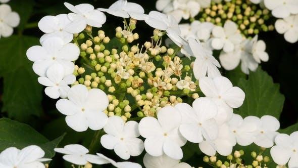 Thumbnail for Guelder Rose Viburnum Tinus Bush on Sunny Day