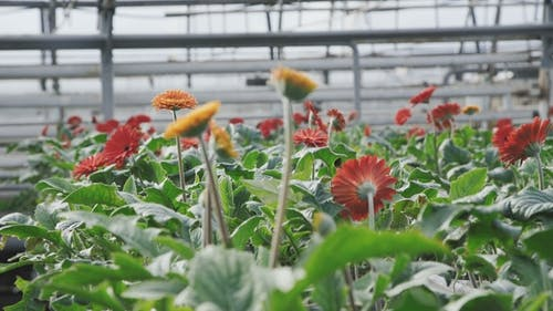 A Lot of Beautiful Flowers in the Greenhouse.