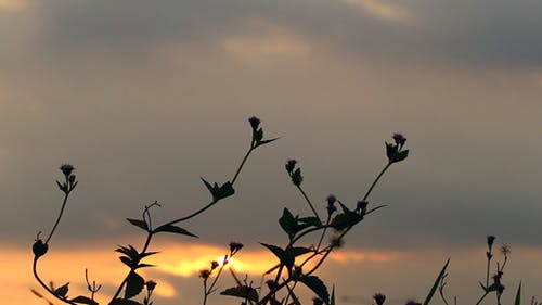 Sunset And Grass Silhouette I