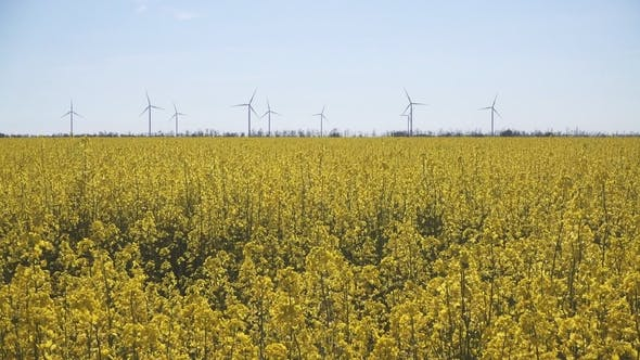 Thumbnail for Wind-Powered Electrical Generators at Rapeseed Field.