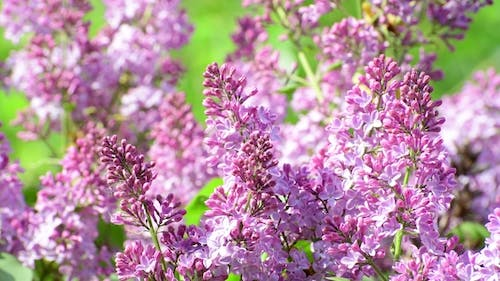 Blooming Pink Lilac