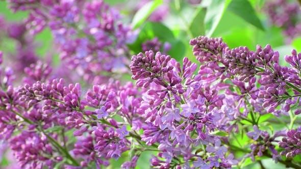 Thumbnail for Beautiful Blooming Lilac