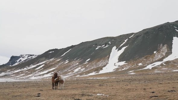 Thumbnail for Icelandic Horse in Winter Nature