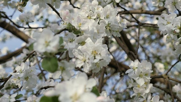 Flowering Crabapple Branches Of Fruit Tree In Spring White