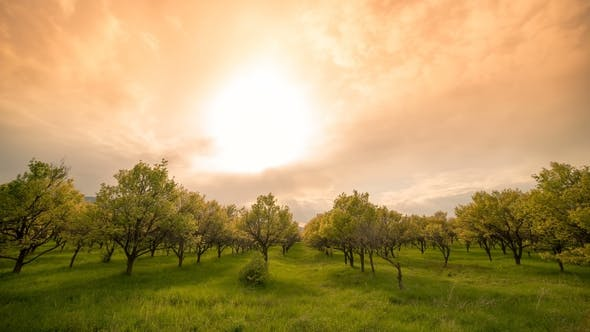 Cover Image for Apple Orchard at Sunset Time Spring Day.