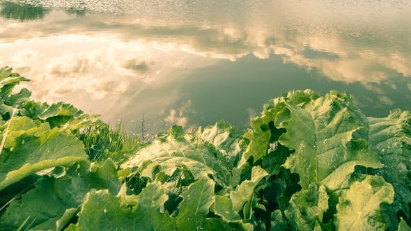 Cover Image for Сloudy Sky Reflection in the Pond Surface at the Big Leaves Background