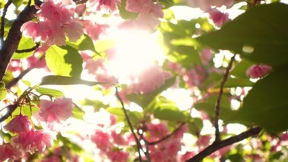 Thumbnail for Blooming Sakura Tree