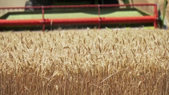 Cover Image for Combine Harvester Cuts Ripe Wheat in Field