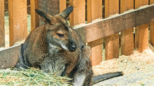 Cover Image for Kangaroo in Sanctuary Enclosure