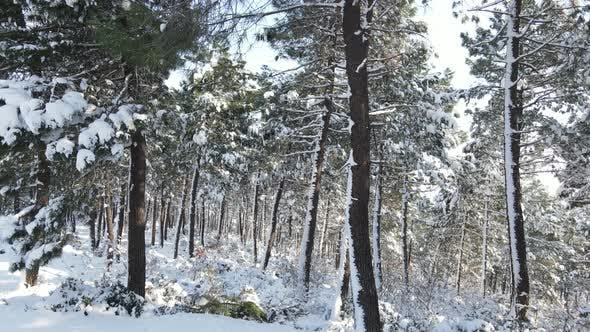 Thumbnail for Pine Forest Winter Snow Aerial Drone