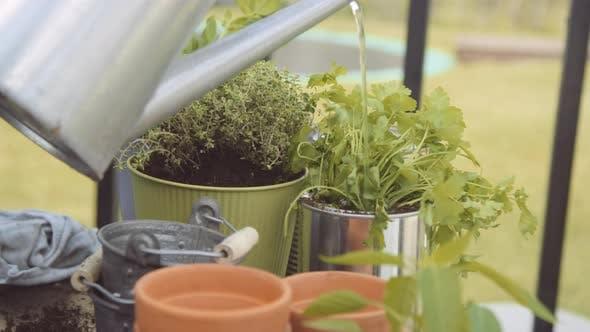 Gärtner mit Gießkanne Kräuter gießen