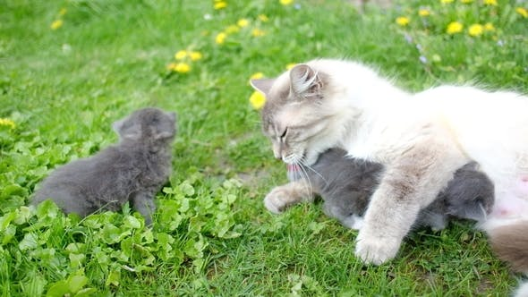Cover Image for Small Kittens with Mother