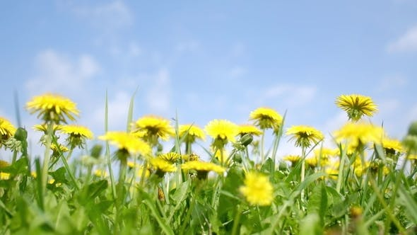 Cover Image for Yellow Dandelions Field