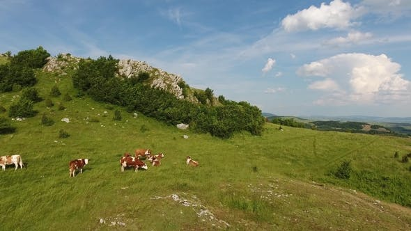 Thumbnail for Flying Over Hills and Cows on Pasture in Serbia
