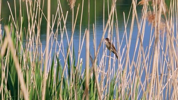 Thumbnail for Acrocephalus Scirpaceus Bird Sing on Bulrush
