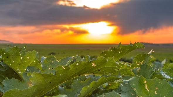 Thumbnail for Field of Green Big Leaves and Colorful Sunset