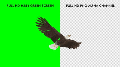 Eagle - Bald - Flying Loop - Down Angle View