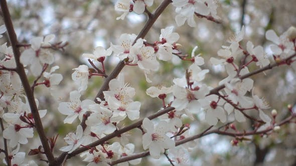 Thumbnail for Beautiful Blooming Apricot Flowers on a Branch in the Garden