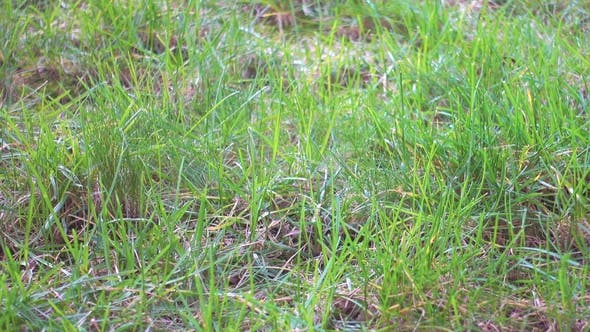 Thumbnail for First Green Grass, Lawn in Garden