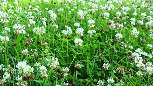 Thumbnail for White Clover Flowers Field in the Garden