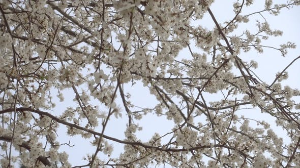 Thumbnail for Blooming Cherry Tree with Beautiful White Flowers